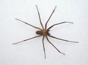 brown-recluse-spider