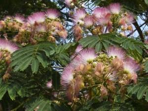 my_mimosa_tree